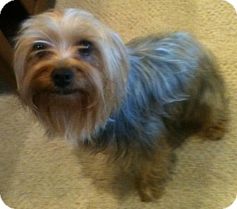 Yorkie, Yorkshire Terrier Dog for adoption in Orange, California - Lizzie