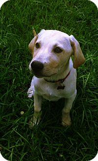 Labrador Retriever Puppy for adoption in Richmond, Virginia - Camo