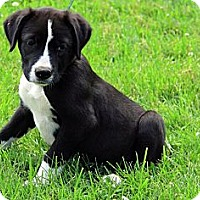 Adopt A Pet :: Lacy - Brattleboro, VT