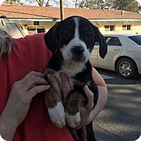 Adopt A Pet :: Shasta - Albany, NY
