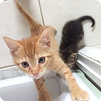 Adopt A Pet :: 8 week orange tiger kitten -M - Manasquan, NJ
