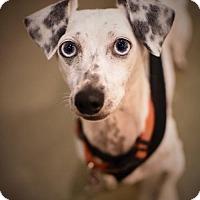 Adopt A Pet :: Shere Khan - Houston, TX