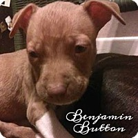 American Pit Bull Terrier Mix Puppy for adoption in Des Moines, Iowa - Benjamin Button