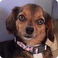 Chihuahua/Beagle Mix Dog for adoption in Fairfax, Virginia - Seth