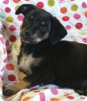 Dachshund Mix Puppy for adoption in Los Angeles, California - Flapjack
