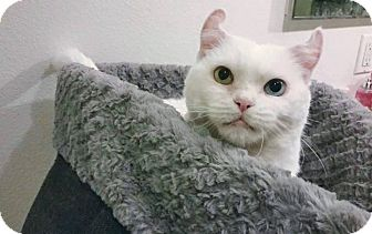 American Curl Cat for adoption in Los Angeles, California - Alivia