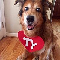 Golden Retriever Mix Dog for adoption in Fenton, Missouri - Ellie