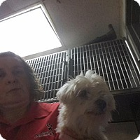 Maltese Dog for adoption in Fort Worth, Texas - Buster