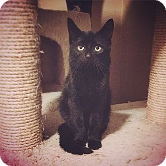 Domestic Mediumhair Kitten for adoption in St Clair Shores, Michigan - Oscar