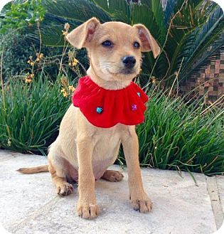 Terrier (Unknown Type, Medium)/Chihuahua Mix Dog for adoption in Austin, Texas - Dancer