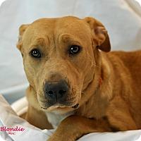 Adopt A Pet :: Blondie - Santa Maria, CA