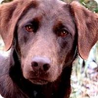 Adopt A Pet :: MISS SKY(GORGEOUS PB CHOC. LAB - Wakefield, RI