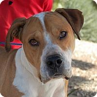Adopt A Pet :: Maynard - Las Vegas, NV