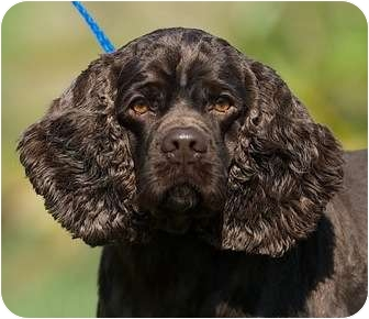 Cocker Spaniel Dog for adoption in Providence, Rhode Island - Hershey