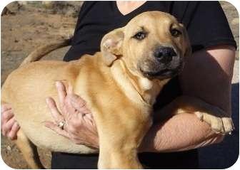 Rhodesian Ridgeback/German Shepherd Dog Mix Puppy for ...