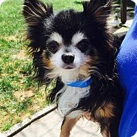 Adopt A Pet :: Socks - St. Petersburg, FL