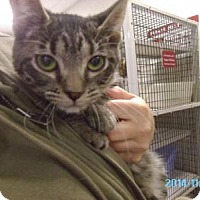 Domestic Shorthair Cat for adoption in Muscatine, Iowa - Honey