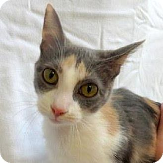 Domestic Shorthair Cat for adoption in Janesville, Wisconsin - Nephele