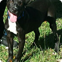 Pit Bull Terrier/American Pit Bull Terrier Mix Dog for adoption in Gaffney, South Carolina - Fetch 9  months Lab mix