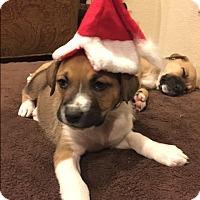 Adopt A Pet :: Kris - Las Vegas, NV