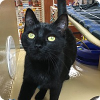 Domestic Shorthair Kitten for adoption in Statesville, North Carolina - Zahara
