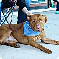 Adopt A Pet :: Clifford - San Antonio, TX