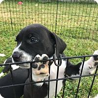 Adopt A Pet :: Abe - Lake Charles, LA