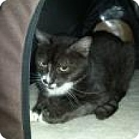 Domestic Shorthair Cat for adoption in Bradenton, Florida - Flan