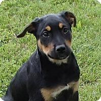 Adopt A Pet :: Stella - Bedford, VA