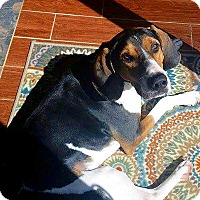 Treeing Walker Coonhound Mix Dog for adoption in New York, New York - Gage