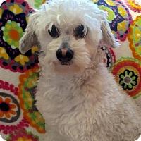Adopt A Pet :: Coco Mishelle - I do not do men! - Spartanburg, SC