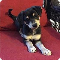 Adopt A Pet :: Elvis - Marilyn Monroe Pup - Encino, CA