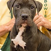 Adopt A Pet :: Bowie - Patterson, CA
