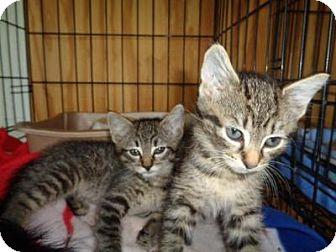 Domestic Shorthair Kitten for adoption in Breinigsville, Pennsylvania - Percy