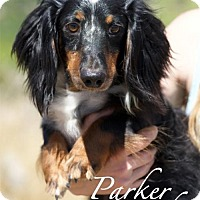 Adopt A Pet :: Parker Diamond - San Antonio, TX