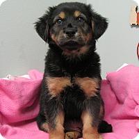 Adopt A Pet :: Roxie - Groton, MA