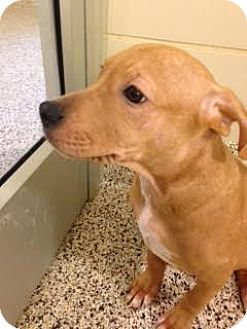 Pit Bull Terrier Mix Puppy for adoption in Aiken, South Carolina - Fenugreek