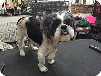 Shih Tzu Dog for adoption in Yuba City, California - Tommy