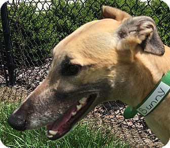 Greyhound Dog for adoption in Longwood, Florida - Duron Sun