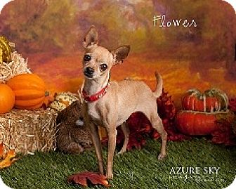 Chihuahua Mix Dog for adoption in Mesa, Arizona - Flower