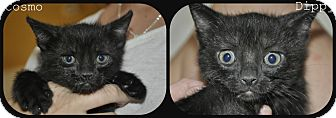 Domestic Shorthair Kitten for adoption in New Smyrna Beach, Florida - Cosmo & Dippy (1/2 price fee)