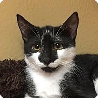 Domestic Mediumhair Cat for adoption in Fairfax, Virginia - Smitty