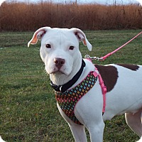 Adopt A Pet :: Lovey - Shelby, MI