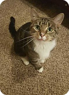 Domestic Shorthair Cat for adoption in South Bend, Indiana - Abby - $50 adoption fee