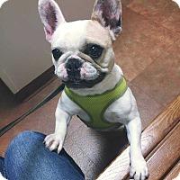 Adopt A Pet :: Darla Bri - Livonia, MI