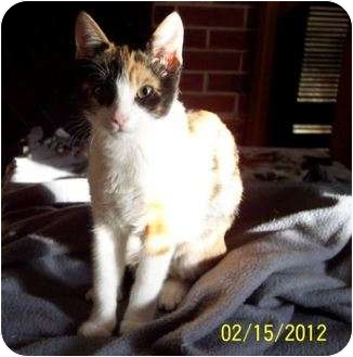 Calico Kitten for adoption in Summerville, South Carolina - Pipsqeak