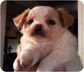 english bulldog shih tzu mix colotta adopted puppy goodland ks shih tzu english 5818