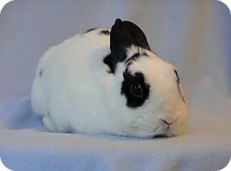 Dwarf Hotot Mix for adoption in Los Angeles, California - Chit Chat
