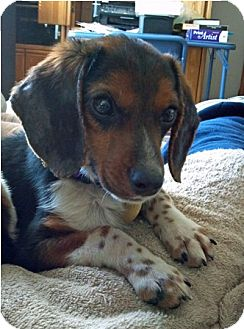 Beagle Puppy for adoption in Waldorf, Maryland - Lonnie Amelia