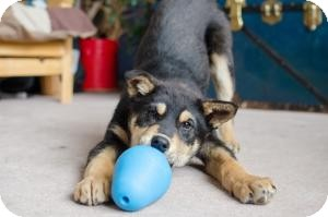 Shepherd (Unknown Type)/Australian Shepherd Mix Puppy for adoption in Saskatoon, Saskatchewan - Bruce